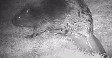 A beaver caught with an automated camera trap