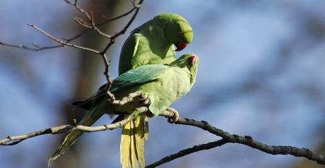 Invasive parakeets in Europe: what limits their spread?